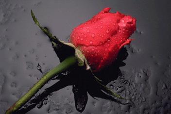 rosa_n.jpg